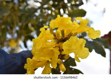 Yellow Ipe Flowers