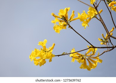Yellow Ipe flowers in Brazil
