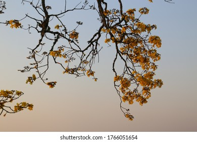 Yellow ipe tree branch with blue sky. Handroanthus Landscape