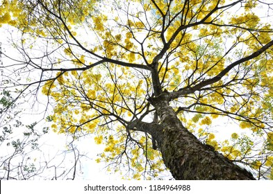 Yellow Ipe tree in Goiania Goias Brazil