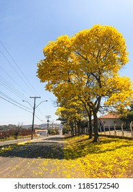 Yellow Ipe Trees in the city of Rialma, Goiás, Brazil