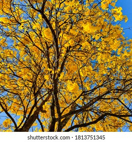 The yellow ipe-flower-of-cotton, is a species of tree of the genus Handroanthus. Sunny day on blue sky background.