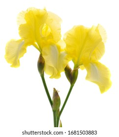 Yellow iris flower isolated on a white background.