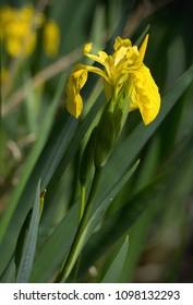 Yellow irises - Iris pseudacorus - on the shore of the pond