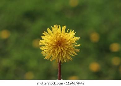 Yellow Isolated Dandilion