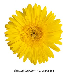 Yellow isolated gerbera on white background