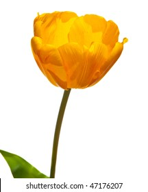 Yellow isolated tulp on the white background