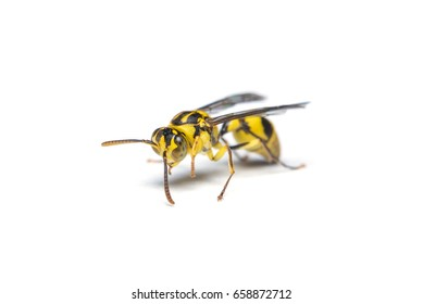 A yellow jacket wasp isolated on white background.