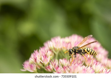 Yellow Jacket Wasp on Autumn Joy Sedum Flowers