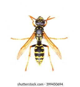 Yellow Jacket Wasp is a poisonous pest on garden. It is bold and aggressive, and can sting repeatedly and painfully if provoked. Insect on white background. Close up with shallow DOF.