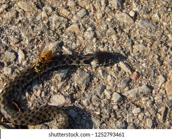Yellow jacket wasp (vespula germanica) feeding on a dead water snake, Horizontal image layout