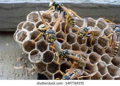 how many yellow jackets are in a nest