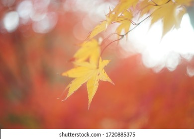 The yellow Japanese maple which feels autumn