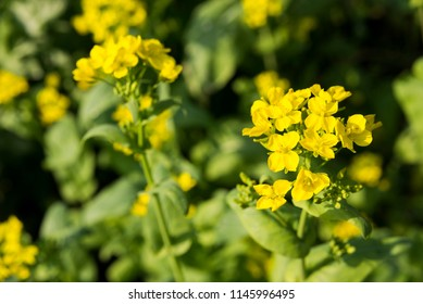Yellow japanese mustard spinach flowers in field