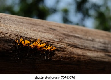 Yellow Jelly Fungus (Dacryopinax spathularia) on Wood Log