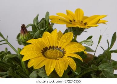yellow jenia flower