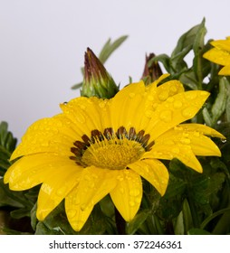 yellow jenia flower against white
