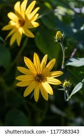 yellow Jerusalem artichoke flowers close up shot