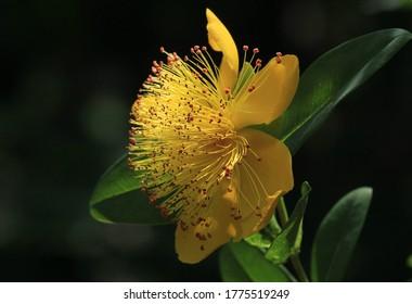 A yellow Jerusalem star in the sunshine