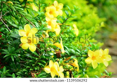 Yellow Jessamine Flower Earlyblooming Vine Bright Stock Photo Edit