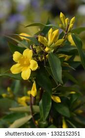 Yellow jessamine - Latin name - Gelsemium sempervirens