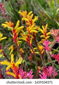 Yellow kangaroo blossoms close-up view
