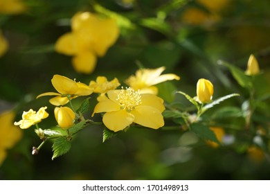 Yellow Kerria flower blooming in spring park