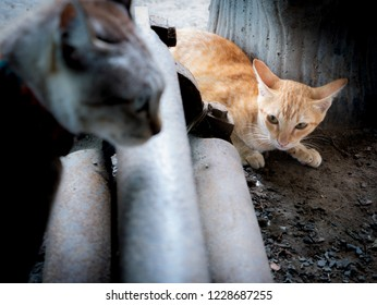 The Yellow Kitten Struck into The Area of The Tabby Cat , Foreground Blur