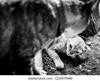 The Yellow Kitten Struck into The Area of The Tabby Cat , Black an White