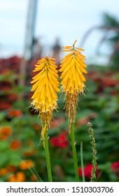 Yellow Kniphofia Uvaria. Two Kniphofia Uvaria flowers in the park