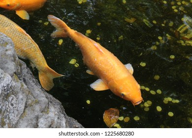 Yellow koi fish in a pond of the zoo