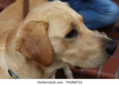 Yellow lab adult dog curious look