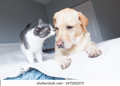 Yellow lab dog and cat sniff noses