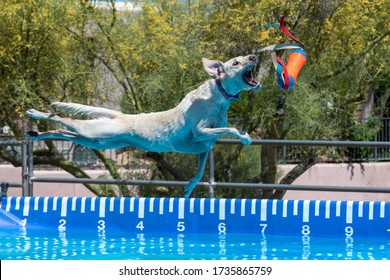 Yellow Lab dog catching a toy during an event after jumping off a dock over a pool