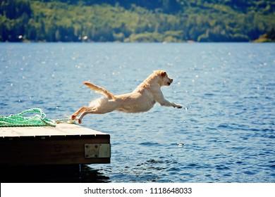 yellow lab dog jumps off dock at lake