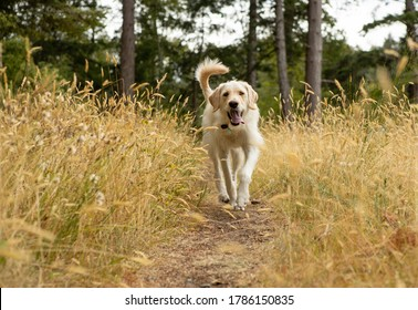Yellow lab dog running on path in long grass