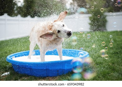Yellow Lab Dog Shaking Water in Bath