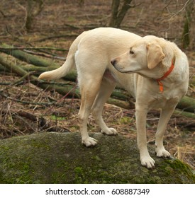 Yellow Lab Exploring The Bush