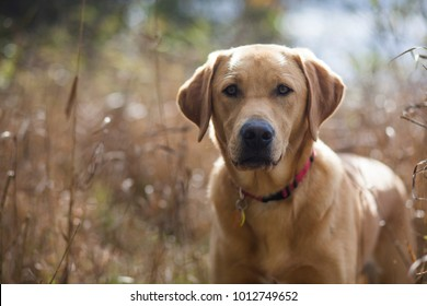 Yellow Lab in a field