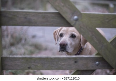 yellow lab at the gate