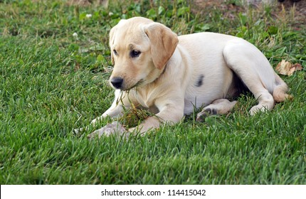 Yellow lab / golden retriever puppy chews on grass as she lays in the yard after some vigorous play