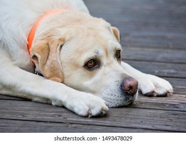 35++ Anjing labrador mix kampung terupdate