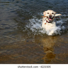 Yellow lab playing fetch in water