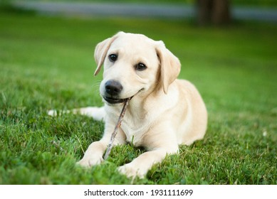 yellow lab puppy chewing stick outdoors