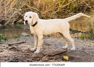 Yellow Lab Images Stock Photos Vectors Shutterstock