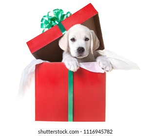 A yellow lab puppy in a gift box for Christmas