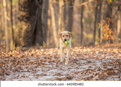 Yellow lab puppy plays fetch with a ball in the woods at Umstead Park in North Carolina
