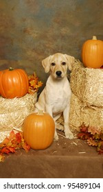 Yellow Lab Puppy sitting between Hay bales and pumpkins