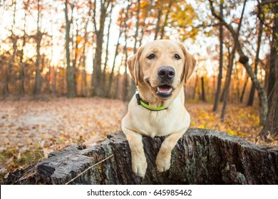 Yellow Lab puppy smiling in the woods at Umstead Park in North Carolina