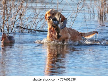 yellow lab retrieving a duck